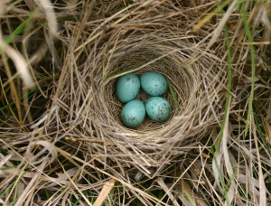Clay-colored Sparrow nest by L.D. Igl USGS